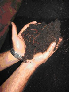The conversion of organic wastes into vermicomposts